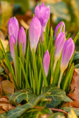 Crocus, plural crocuses or croci is a genus of flowering plants in the iris family. A single crocus, a bunch of crocuses, a meadow full of crocuses, close-up crocus Standard-Bild