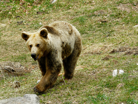 Brown bear, Ursus arctos in Rila Mountain, Bulgaria  Stock Photo - 98531803