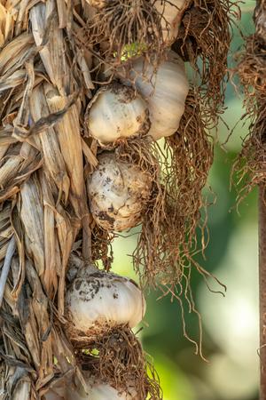 Braided organic raw garlic bulbs. Traditional drying of garlic, Allium sativum