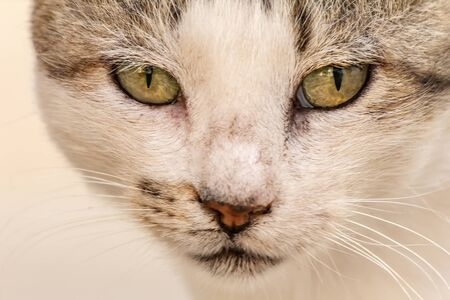 Close-up street cat portrait of European Shorthair breed