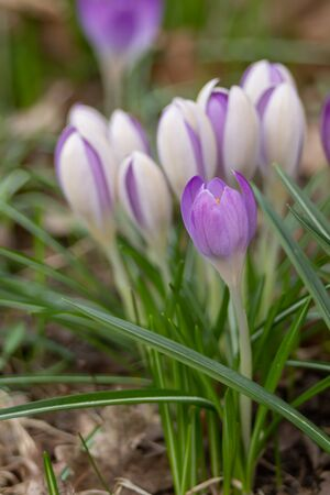 Crocus, plural crocuses or croci is a genus of flowering plants in the iris family. A single crocus, a bunch of crocuses, a meadow full of crocuses, close-up