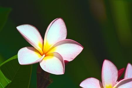 Plumeria or Frangipani floral photo