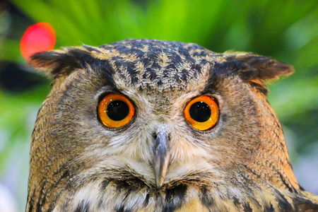 Eurasian eagle-owl see you photo