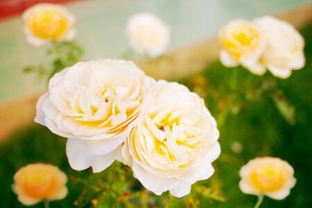 White yellow rose in the garden Stok Fotoğraf