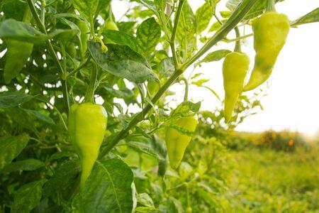 Green sweet peppers growing in the garden