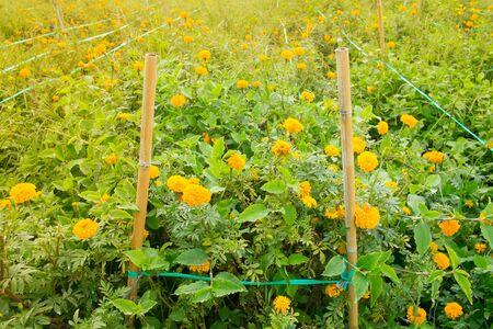 Marigold flowers in the farm with sun light Stok Fotoğraf