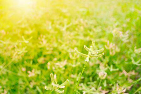 Grass flower in grass filed with sunlight Stok Fotoğraf