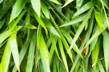 Green bamboo leaf closeup background