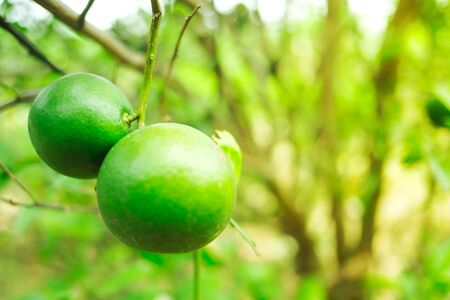 Close up green lime in farm