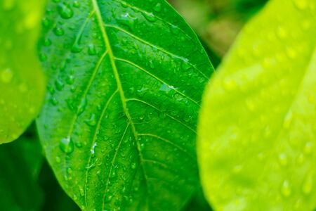Green nature background, green leaf with water drop in selective focus
