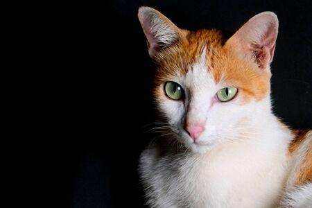 White and orange cat on black background