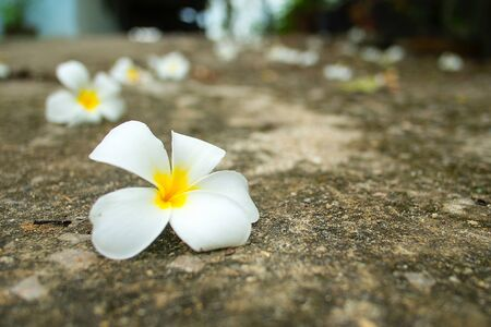 White frangipani tropical flower on cement ground