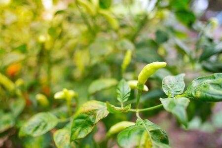 Green karen pepper growing in the garden