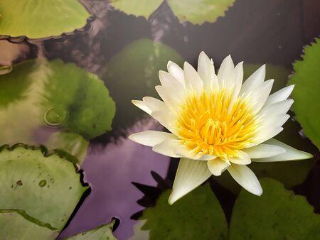White lotus flower with yellow pollen on the water Stok Fotoğraf