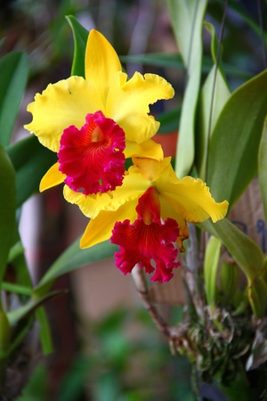 Beautiful yellow with red of wird orcid. photo