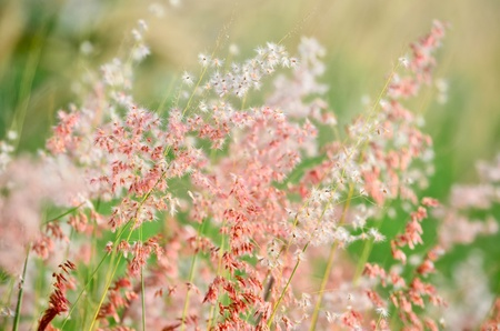Pink poaceae photo