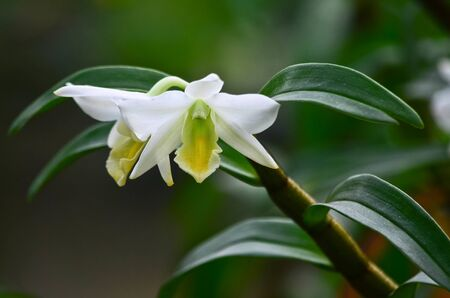 White orchid with green background photo