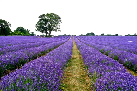 french countryside: Lavender field in the summer