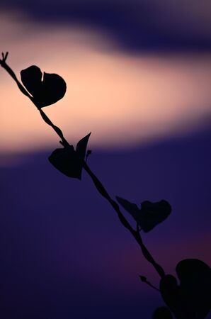 Heart leaf shadow in sunset photo