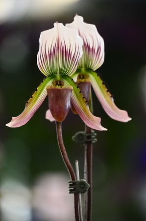 lady s: Close up of lady s slipper orchid