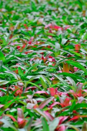 vriesea: Vriesea pineapple garden