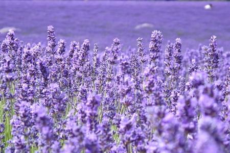violeta: Blooming lavandas campo