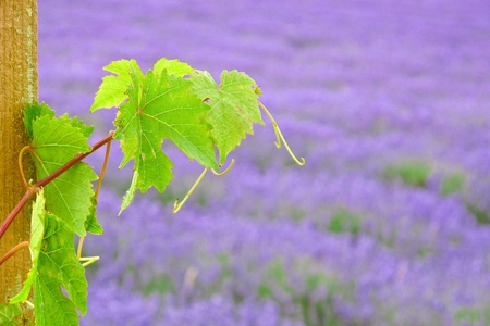 Grape leaf in lavender field Stock Photo