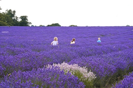Three children walking through a lavender field photo