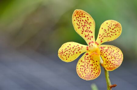 Yellow orchid in the garden photo