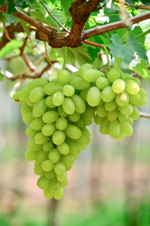 grape field: Picture of ripe white grape branch with grape leaves background
