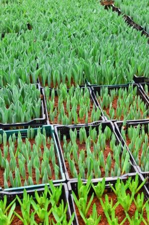 youthful: Youthful green bud of tulip