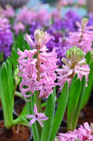 hyacinthus: Hyacinthus rosa y morado