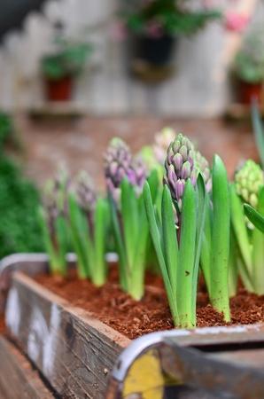 perianth: Purple hyacinthus