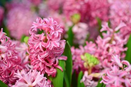 hyacinthus: Pink hyacinthus