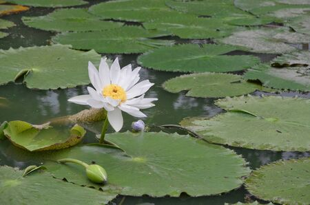watergarden: White lotus in the pond