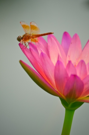 Pink lotus blossoms in the pond with dragonfly photo