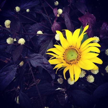 closeup: Closeup sunflower