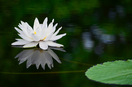 White lotus in the pond