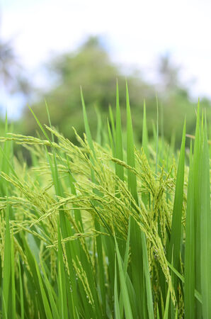 rural economy: Closeup green paddy rice