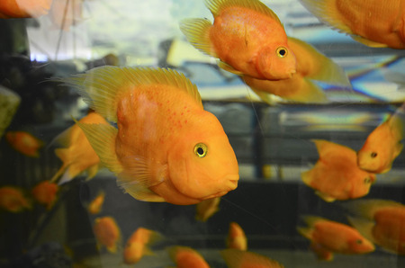 cichlid: Parrot fishes Stock Photo