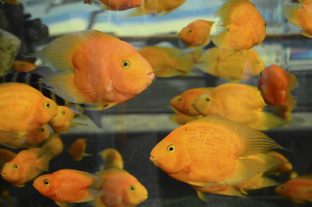 blood parrot: Parrot fishes Stock Photo