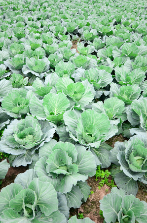Green cabbage field photo