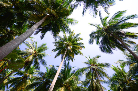 Low angle view of coconut trees