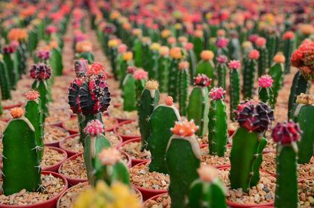 selective focus: Cactus farm selective focus