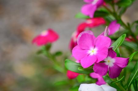 Catharanthus roseus Stock Photo