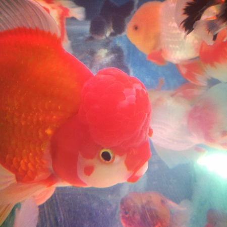 black white red: Cute golden fish