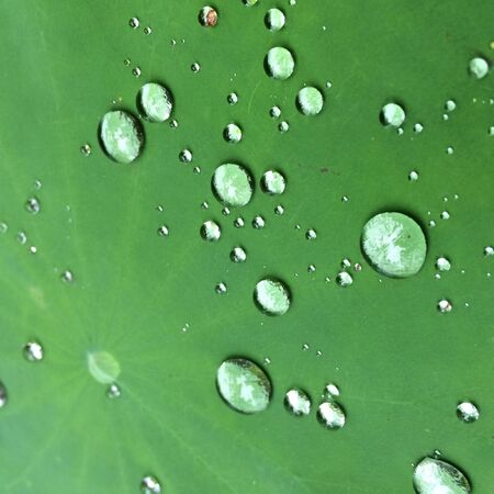 closeup: Water drop on lotus leaf