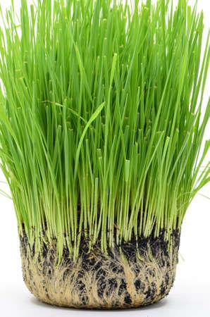 raices de plantas: trigo fresco