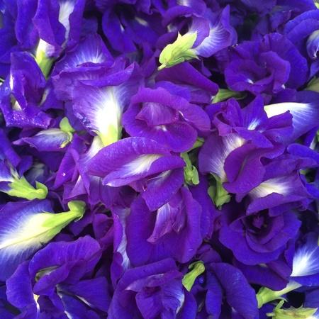 closeup: Butterfly pea flower