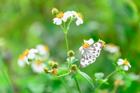 White butterfly eating dew on the white flower